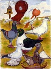 Fancy pigeons illustration