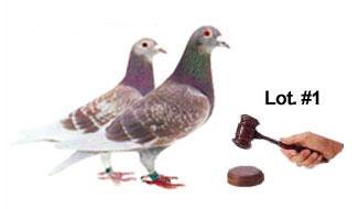 Pigeon Auction