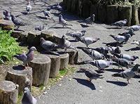 Pigeons feeding