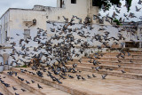 Pigeons in flight at Mosque
