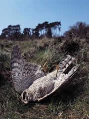 Poisoned sparrowhawk