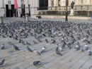 Flock of Urban Pigeons