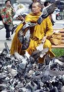 Monk Feeding Pigeons