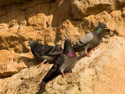 Rock doves in natural habitat