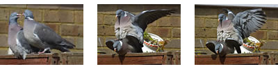Wood Pigeons Mating