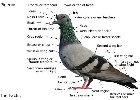 Pigeons - Everything there is to know about the pigeon - PCRC