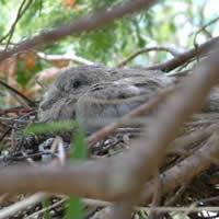 Collared dove squab in nest